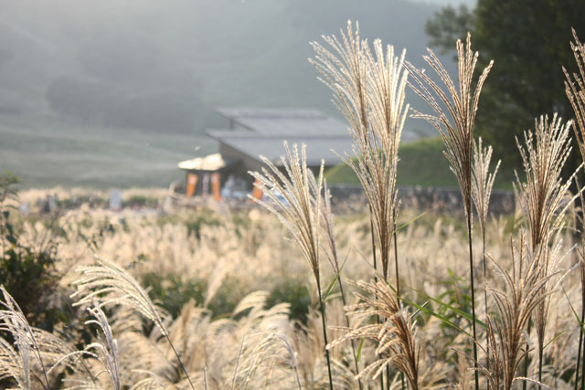砥峰高原はススキの名所として有名です