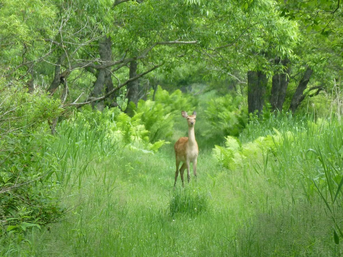 遊歩道の鹿